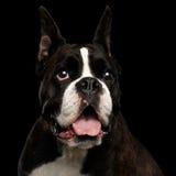 Καθαρής φυλής σκυλί μπόξερ που απομονώνεται στο μαύρο υπόβαθρο Στοκ Εικόνα