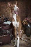 Καθαρής φυλής σκυλί ibicenco Podenco στο εσωτερικό Στοκ Εικόνα