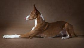Καθαρής φυλής σκυλί ibicenco Podenco Στοκ φωτογραφία με δικαίωμα ελεύθερης χρήσης