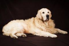 Καθαρής φυλής χρυσό retriever σκυλί στο καφετί υπόβαθρο Στοκ Φωτογραφία