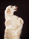 Καθαρής φυλής χρυσό retriever σκυλί στο καφετί υπόβαθρο Στοκ εικόνες με δικαίωμα ελεύθερης χρήσης