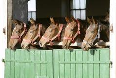 Καθαρής φυλής anglo-αραβικά άλογα κάστανων που στέκονται στην πόρτα σιταποθηκών Στοκ Φωτογραφίες