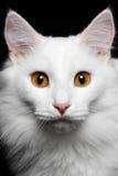 Καθαρή άσπρη γάτα κινηματογραφήσεων σε πρώτο πλάνο στο μαύρο υπόβαθρο στοκ φωτογραφίες
