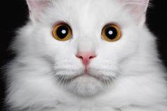 Καθαρή άσπρη γάτα κινηματογραφήσεων σε πρώτο πλάνο στο μαύρο υπόβαθρο στοκ εικόνες