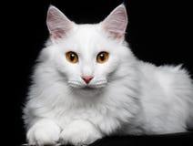Καθαρή άσπρη γάτα στο μαύρο υπόβαθρο στοκ εικόνα