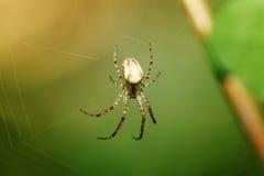 καθαρή αράχνη Στοκ φωτογραφίες με δικαίωμα ελεύθερης χρήσης