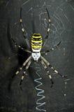 καθαρή αράχνη Στοκ Εικόνα