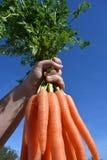 Καθαρή κατανάλωση Η γυναίκα που κρατά μια φρέσκια δέσμη των καρότων, κλείνει επάνω στοκ εικόνα
