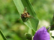 Καθαρή μέλισσα Στοκ εικόνες με δικαίωμα ελεύθερης χρήσης