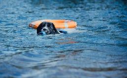 Καθαρή φυλή σκυλιών Landseer στην κατάρτιση νερού Στοκ Εικόνες