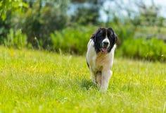 Καθαρή φυλή σκυλιών Landseer στο δρόμο Στοκ εικόνα με δικαίωμα ελεύθερης χρήσης