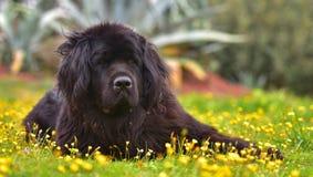 Καθαρή φυλή σκυλιών Landseer Στοκ Φωτογραφία