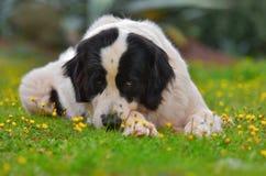 Καθαρή φυλή σκυλιών Landseer Στοκ εικόνα με δικαίωμα ελεύθερης χρήσης