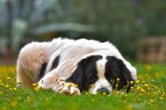 Καθαρή φυλή σκυλιών Landseer Στοκ εικόνες με δικαίωμα ελεύθερης χρήσης