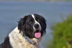 Καθαρή φυλή σκυλιών Landseer Στοκ Εικόνες