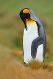 Καθαρίζοντας φτέρωμα Penguin Βασιλιάς penguin, συνεδρίαση patagonicus Aptenodytes στη χλόη με το γαρμένο κεφάλι, Νήσοι Φώκλαντ Πο Στοκ εικόνα με δικαίωμα ελεύθερης χρήσης