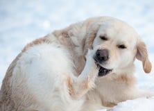 Καθαρίζοντας χιόνι σκυλιών από τα πόδια Στοκ φωτογραφία με δικαίωμα ελεύθερης χρήσης