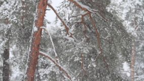 καθαρίστε το φρέσκο χιόνι που είναι στο δάσος πεύκων