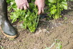 Καθαρισμός κηπουρών στον κήπο Στοκ Εικόνες