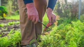 Καθαρισμός του ρύπου ενός δίκαιου επιλεγμένου καρότου από έναν κήπο απόθεμα βίντεο