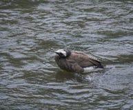 Καθαρισμός χήνων σε έναν ποταμό στοκ εικόνες