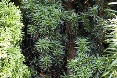 Καθαρός μιας διαγώνιας αράχνης, diadematus Araneus στοκ φωτογραφία