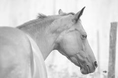 Καθαρός-το άλογο στοκ εικόνα