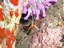 καθαρότερες γαρίδες Στοκ Εικόνα