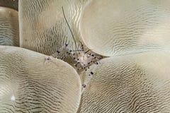 Καθαρότερες γαρίδες Στοκ Εικόνες