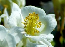 Καθαρό άσπρο λουλούδι magnolia με το κίτρινο κέντρο στοκ εικόνα