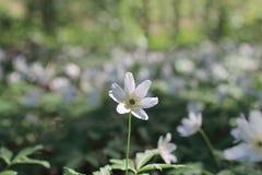 Καθαρό άσπρο ξύλινο anemone λουλουδιών Στοκ Φωτογραφίες