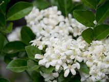 Καθαρό άσπρο πορτοκαλί jasmine ανθίζει, μικρός, λεπτός και γλυκός scented, ανθίζοντας συγχρόνως το τροπικό καλοκαίρι στοκ εικόνες