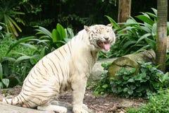 καθαρό λευκό τιγρών Στοκ Εικόνα