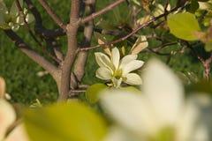 Καθαρό λουλούδι magnolia Στοκ εικόνες με δικαίωμα ελεύθερης χρήσης