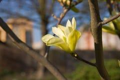 Καθαρό λουλούδι magnolia Στοκ φωτογραφία με δικαίωμα ελεύθερης χρήσης
