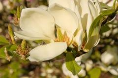 Καθαρό λουλούδι magnolia Στοκ Φωτογραφίες