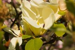 Καθαρό λουλούδι magnolia Στοκ Εικόνες