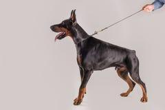 Καθαρό σκυλί φυλής στην άγρυπνη μόνιμη θέση Στοκ Φωτογραφίες