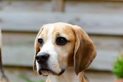 Καθαρό χαλαρωμένο κεφάλι σκυλιών κυνηγόσκυλων κυνηγιού λαγωνικών Στοκ Εικόνα