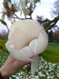 Καθαρό magnolia Στοκ εικόνες με δικαίωμα ελεύθερης χρήσης