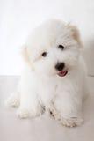 καθαρό tul του AR coton de puppy Στοκ Εικόνες