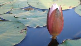 Καθαρό Waterlily Στοκ Εικόνες