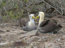 Καθισμένα κυματισμένα ράμφη βρυσών άλμπατρος που συνδέουν στο espanola isla galapagos στοκ εικόνα με δικαίωμα ελεύθερης χρήσης