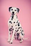 Καθμένος δαλματική σκύλα Στοκ φωτογραφία με δικαίωμα ελεύθερης χρήσης