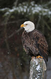 Καθμένος φαλακρός αετός Στοκ φωτογραφίες με δικαίωμα ελεύθερης χρήσης