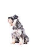 Καθμένος schnauzer σκυλί Στοκ Εικόνα