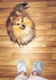 Καθμένος shelty σκυλί Στοκ εικόνες με δικαίωμα ελεύθερης χρήσης
