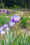 καθολικός Ιστός προτύπων σελίδων ίριδων χαιρετισμού λουλουδιών καρτών ανασκόπησης Στοκ φωτογραφία με δικαίωμα ελεύθερης χρήσης