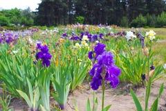 καθολικός Ιστός προτύπων σελίδων ίριδων χαιρετισμού λουλουδιών καρτών ανασκόπησης Στοκ Εικόνα