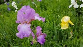καθολικός Ιστός προτύπων σελίδων ίριδων χαιρετισμού λουλουδιών καρτών ανασκόπησης Στοκ Εικόνες